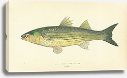 Постер Long-finned Grey Mullet