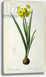Постер Редюти Пьер Narcissus Lazetta, from `'Plantae Selectae' by Christoph Jakob Trew, published 175-53
