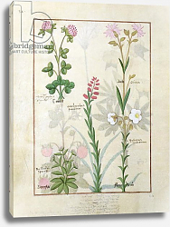 Постер Тестард Робинет (бот) Ms Fr. Fv VI #1 fol.128v Red clover, Aube, Bellidis species, Onobrychis, Hyssopus nemorum