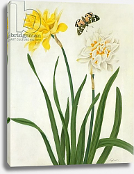 Постер Коньерс Джон (бот) Narcissi and Butterfly