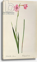 Постер Редюти Пьер Gladiolus Hirsulus, from `Les Liliacees', 1805