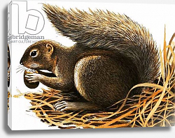 Постер Дэвис Р. (жив, дет) X for... Xerus erythropus or African Squirrel