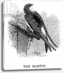 Постер Ярелл Уильям (птицы) The Martin, illustration from 'A History of British Birds' by William Yarrell, first published 1843