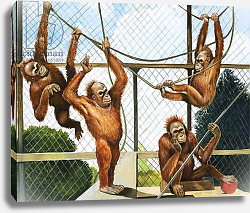 Постер Бэкхаус Д. (совр) Orangutans, illustration from 'Who's who at the Zoo', 1968