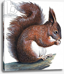 Постер Дэвис Р. (жив, дет) Red Squirrel