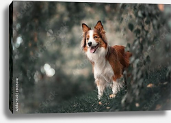 Постер Proud border collie dog