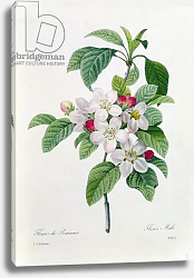 Постер Редюти Пьер Apple Blossom, from 'Les Choix des Plus Belles Fleurs', engraved by Chapuy