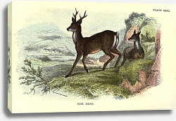 Постер BRITISH MAMMAL 1896 ROE DEER