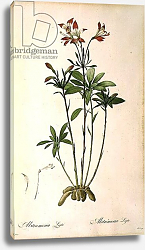 Постер Редюти Пьер Alstraemeria Ligtu, from `Les Liliacees' by Pierre Redoute, 8 volumes, published 1805-16,