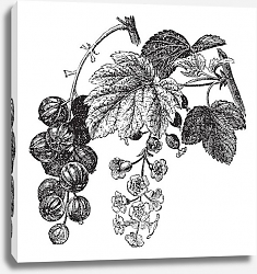 Постер Red currant (Ribes rubrum) vintage engraving
