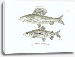 Постер Grayling Salmon, Gwiniad salmon