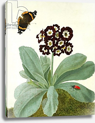 Постер Коньерс Джон (бот) Primula Auricula with Butterfly and Beetle