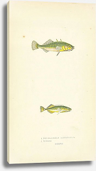 Постер Three-spined Stickleback, Tinker