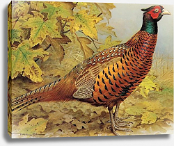 Постер British Birds - Pheasant