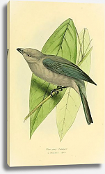 Постер Blue-grey Tanager