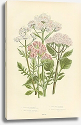 Постер Red Spur-valerian, Small Marsh Valerian, Great Wild Valerian, Heart Leaved Valerian