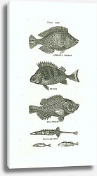 Постер Gibbous Wrass, Perch, Sea Perch, Sticklebacks