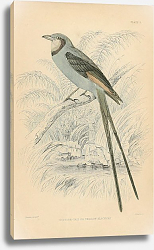 Постер Scissor-tail or Swallow Blackcap
