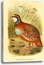 Постер Spanish Red-Legged Partridge