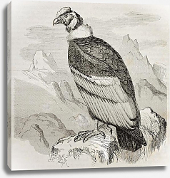 Постер Andean Condor (Vultur gryphus). Created by Kretschmer and Jahrmargt, published on Merveilles de la N