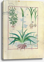 Постер Тестард Робинет (бот) Ms Fr. Fv VI #1 fol.119r Garlic and other plants, c.1470