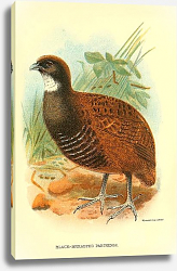 Постер Black-Breasted Partridge