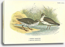 Постер Common Sandpiper, Spotted Sandpiper
