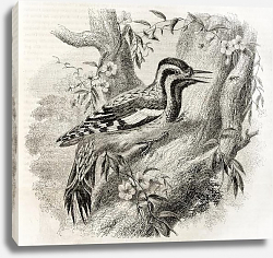 Постер Woodpecker in North America(Sphyrapicus varius). Created by Freeman, published on Magasin Pittoresqu