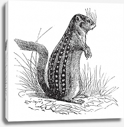 Постер Thirteen-lined ground squirrel or Ictidomys tridecemlineatus vintage engraving