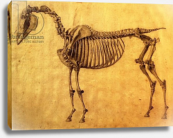 Постер Стаббс Джордж Finished Study for the First Skeletal Table of a Horse, c. 1766