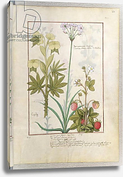 Постер Тестард Робинет (бот) Ms Fr. Fv VI #1 fol.128r Consiligo, Burreed and Strawberry c.1470