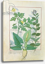 Постер Тестард Робинет (бот) Ms Fr. Fv VI #1 fol.113v Greater Celandine or Poppy, Solanum c.1470