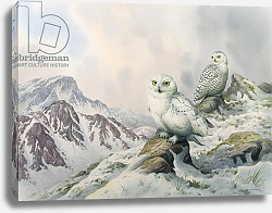 Постер Даннер Карл (совр) Pair of Snowy Owls in the Snowy Mountains, Australia