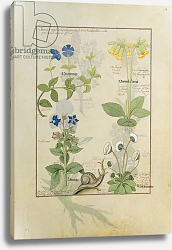 Постер Тестард Робинет (бот) Ms Fr. Fv VI #1 fol.114 Top row: Blue Clematis or Crowfoot and Primula.  c.1470