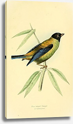 Постер Blue winged Tanager