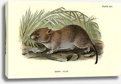 Постер BRITISH MAMMAL 1896 BANK VOLE