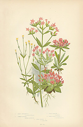 Постер Least Gentianella, Common Centaury, Dwarf Branched c., Broad Leaved Tufted c., Dwarf Tufted c.