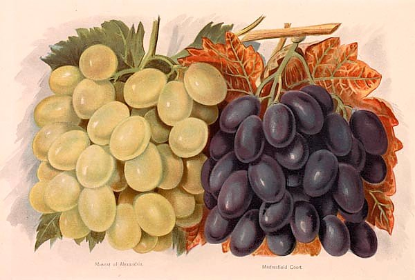Grapes - Muscat of Alexandria, Madresfield Court