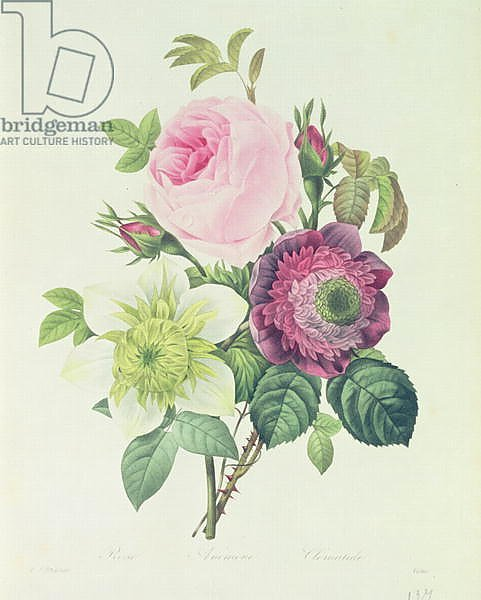 Rose, anemone and Clematide, from 'Les Roses', 19th century
