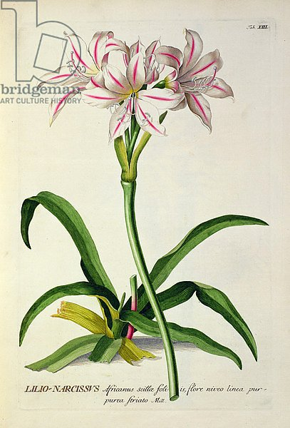Lilio-Narcissus, Africanus, from 'Plantae Selectae' by Christoph Jakob Trew, published 1750-73