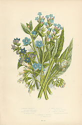 Постер Common Alkanet, Evergreen Alkanet, Small Bugloss, Common Comfrey, Tuberous Comfrey