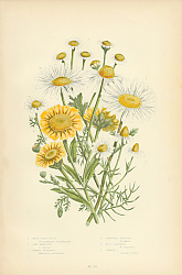 Постер Great White Ox-eye, Corn Marigold, Common Feverfew, Scentless Mayweed, Wild Camomile, Common c.
