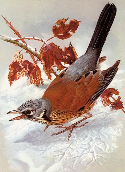British Birds - Field Fare