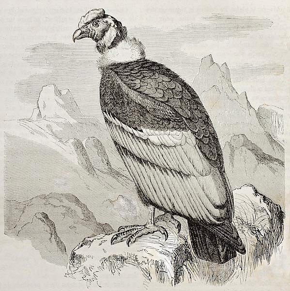 Andean Condor (Vultur gryphus). Created by Kretschmer and Jahrmargt, published on Merveilles de la N