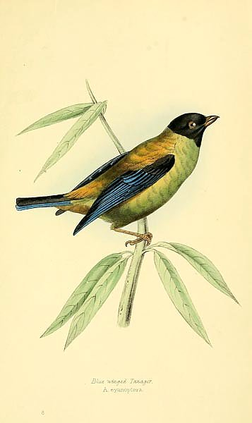 Blue winged Tanager