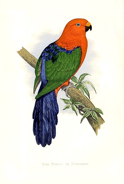 King Parrot, or Parrakeet