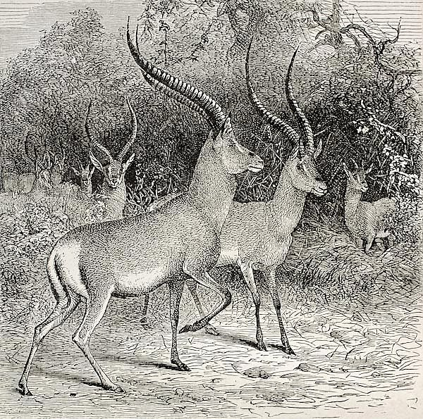 Antelope specie in Ougugo region, Tanzania. Created by Wolff, published on Le Tour du Monde, Paris,