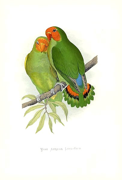 West African Love-Bird