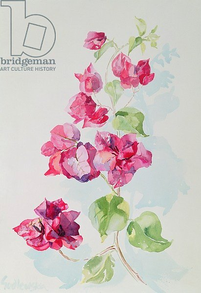 No.2 Bougainvillea Red