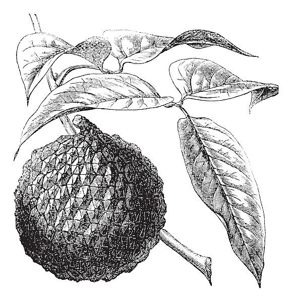 Lychee or Litchi chinensis vintage engraving